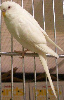 Jacob albino